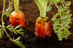 Правильний догляд за морквою у відкритому грунті, як доглядати і боротися з хворобами моркви.