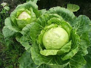 Как на рынке выбрать правильно хорошую рассаду капусты. Рекомендации опытных огородников.