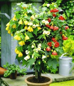 Квітка абутілон, фото