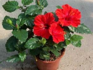 Комнатный цветок вампир или китайская роза смерти.