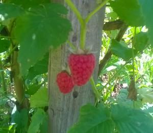 Почему сохнет куст малины с ягодами.