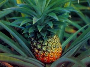 Порада, як правильно виростити ананас в домашніх умовах