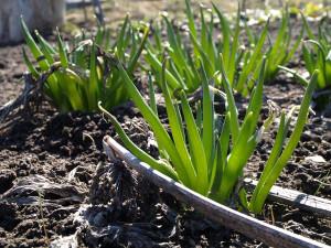 Тіньолюбні рослини для вирощування на городі.