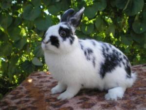Кролик декоративный, породы бабочка, описание и фото.