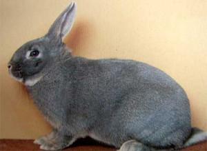 Декоративні кролики породи білка, фото і опис.