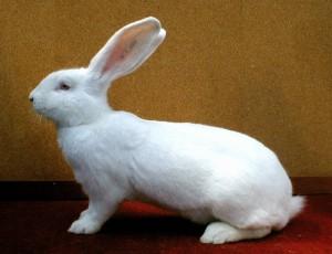 Великий кролик породи білий велетень, фото і опис.