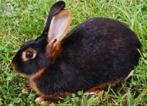 Черно-бурые кролики, фото и описание.