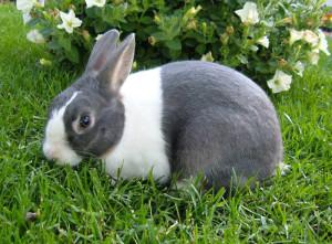 Порода кроликів голландська, фото і опис.