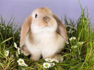 Чим корисне молоко кролиці. Опис і характеристика.
