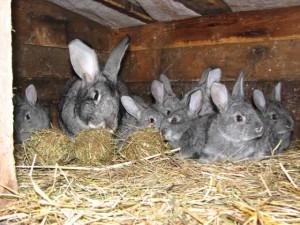 Окріл кроликів взимку на вулиці, підготовка клітини, утеплення, опис.