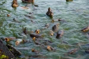 Розведення коропів у ставку як бізнес в домашніх умовах, на ділянці на дачі в стаціонарному басейні або ставку.