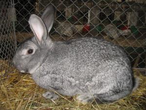 Опис кроликів породи радянська шиншила, як виглядає. Фото і опис.