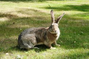 Порода кроликів сірий велетень утримання, розведення, фото і опис.