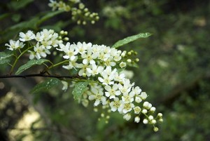 A Bird Cherry tree in bloom.