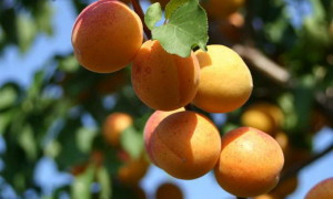 How to cut off the apricots.
