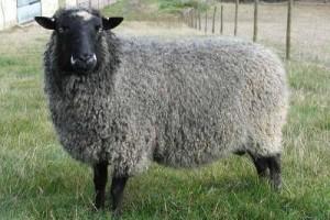 Характеристика овець романівської породи.