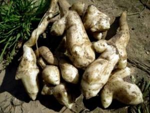 Полезный фрукт - топинамбур (земляная груша), выращивание на огороде, на даче. Фото и описание.