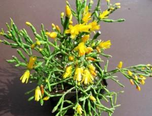 Рослина хатіора, розмноження, і догляд в кімнатних умовах, фото, опис квітки.