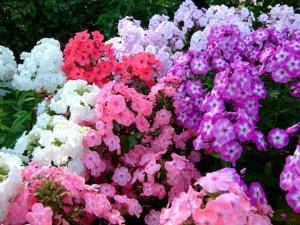 Цветы флоксы однолетние и многолетние, уход в домашних условиях, описание.