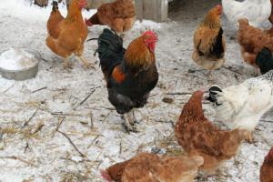 Умови утримання курей несучок взимку на дачі, в домашніх умовах, щоб вони несли яйця. Правильне годування.