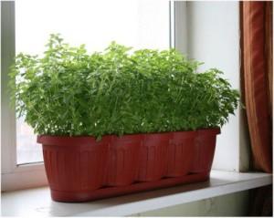 Посадка и выращивание зелени, петрушки зимой на подоконнике, в квартире, фото, описание.