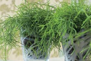 Комнатный кактус рипсалис, уход, выращивание, посадка, описание и разведение в домашних условиях.