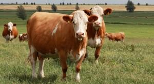 Симментальская порода коров фото, описание, характеристика.