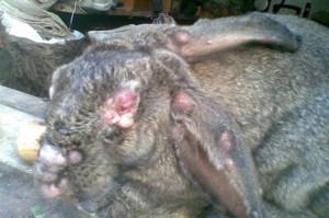 Хвороба кроликів - стафілокок, лікування, симптоми, фото і опис.