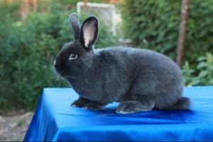 Интересные особенности, описание, характеристика. Венский голубой кролик, фото.