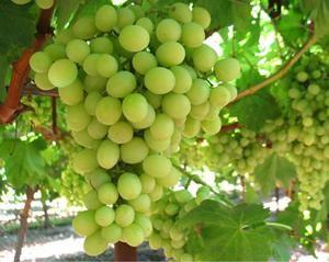 Полив молодого куща посадженого винограду, опис.