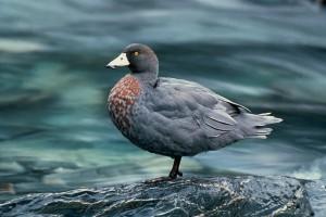 Описание, характеристика шведской голубой утки для домашнего разведения, фото.