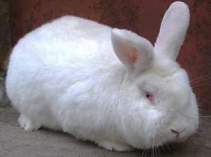 Кролики породи новозеландська біла, фото, опис.