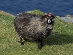 Описание Северной овцы, фото, характеристика, разведение.