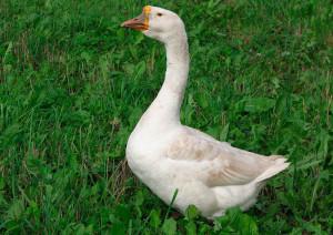 Фото, описание породы Белый Китайский гусь, характеристика.