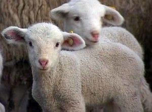 Промышленное и домашнее разведение овец, фото, характеристики, описание.