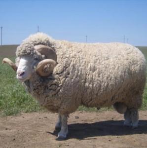 Породи овець в алтайському краї, фото, опис, характеристика для домашнього розведення.