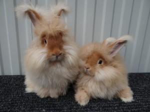 Ангорський пухнастий домашній кролик, фото, опис та характеристики.