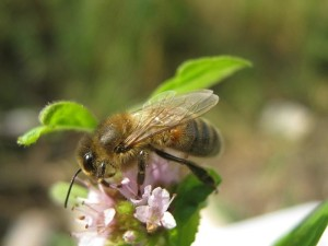 Как выглядит башкирская пчела, фото, описание, характеристика.