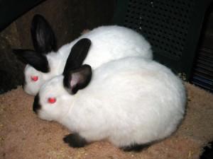 Вирощування каліфорнійських кроликів, порода, фото, опис.