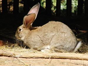 Велетень кролик породи фландр, зміст, опис, фото.
