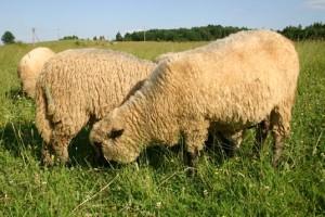 Характеристика, разведение в домашних условиях, Горьковская овца, фото, описание.