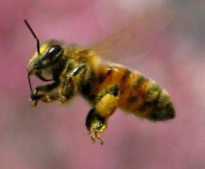 Італійська порода бджіл, опис, фото, характеристика.