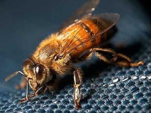 Найменша порода бджіл - карликова. Фото, опис.
