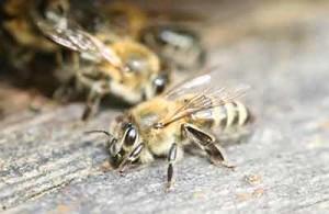 Основные характеристики пчел породы краинская, фото, описание.