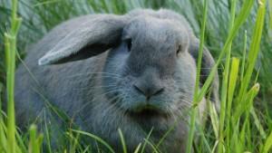 Красива біла пухова порода кроликів (курський кролик), фото, опис.