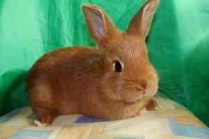 Кролики породы новозеландская красная, фото, описание.