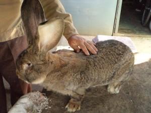 Великий німецький обер кролик, фото, опис, характеристики.