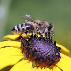 Бджоли сірої гірської кавказької породи, фото, опис, характеристика.