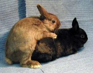 Злучка кроликів самостійно вдома, парування, фото, покроковий опис, підбір кроликів до розмноження.