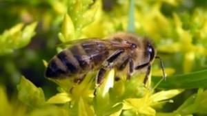 Содержание среднерусской породы пчел, описание, характеристика, фото для разведения в домашних условиях.